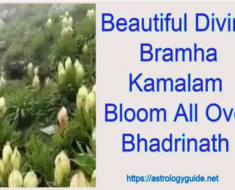 Beautiful Divine Bramha Kamalam Bloom All Over Bhadrinath